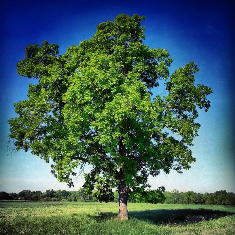 Tree in summer's glory